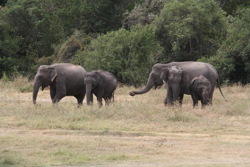 sri-lanka-bebe-elephant